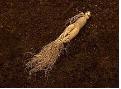ドモホルンリンクルのど飴の成分長白参の画像